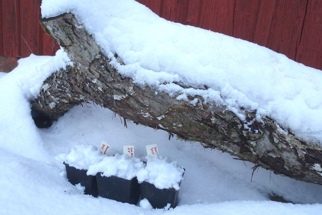 Krukor som står i snö under en stor trädgren.
