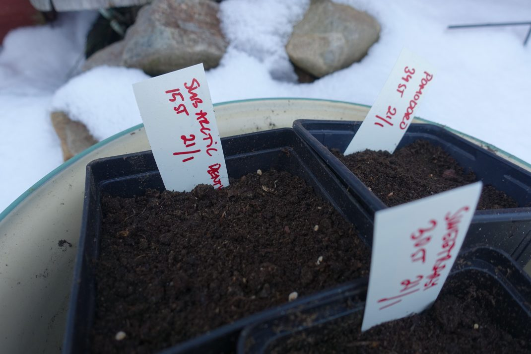 Krukor med jord i ett emaljtråg utomhus i snö.