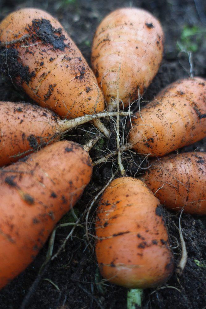 Närbild på små korta morötter.