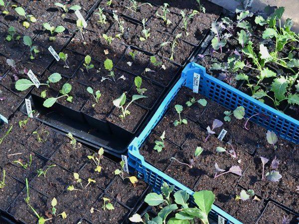 Flera tråg och brätten ligger tätt ihop. I dem växer små plantor av olika sorters kål.