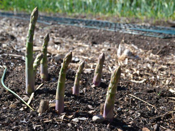 Lilagröna sparrisplantor växer upp ur jorden.