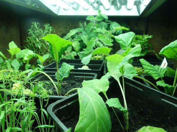 Under flera lysrör växer flera kålplantor, tomater och andra försådder.