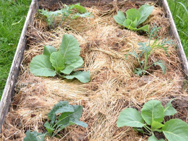 Sex olika sorters kål är planterade i en pallkrage. Jorden är täckt av hö eller halm.