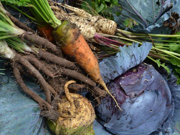 Närbild av jordiga grönsaker; morötter, svartrötter, rödkål och fler rotsaker.