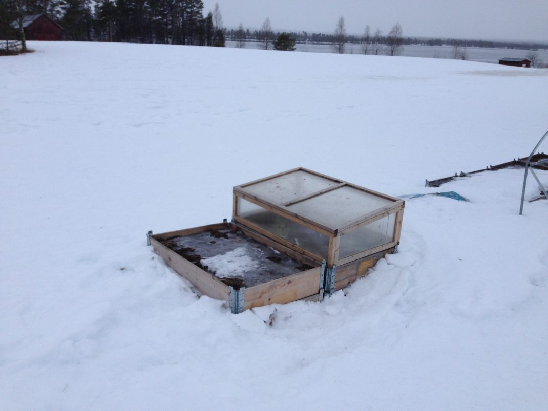 Pallkragar tittar fram ur snötäcket en mulen vårdag i Lappland.