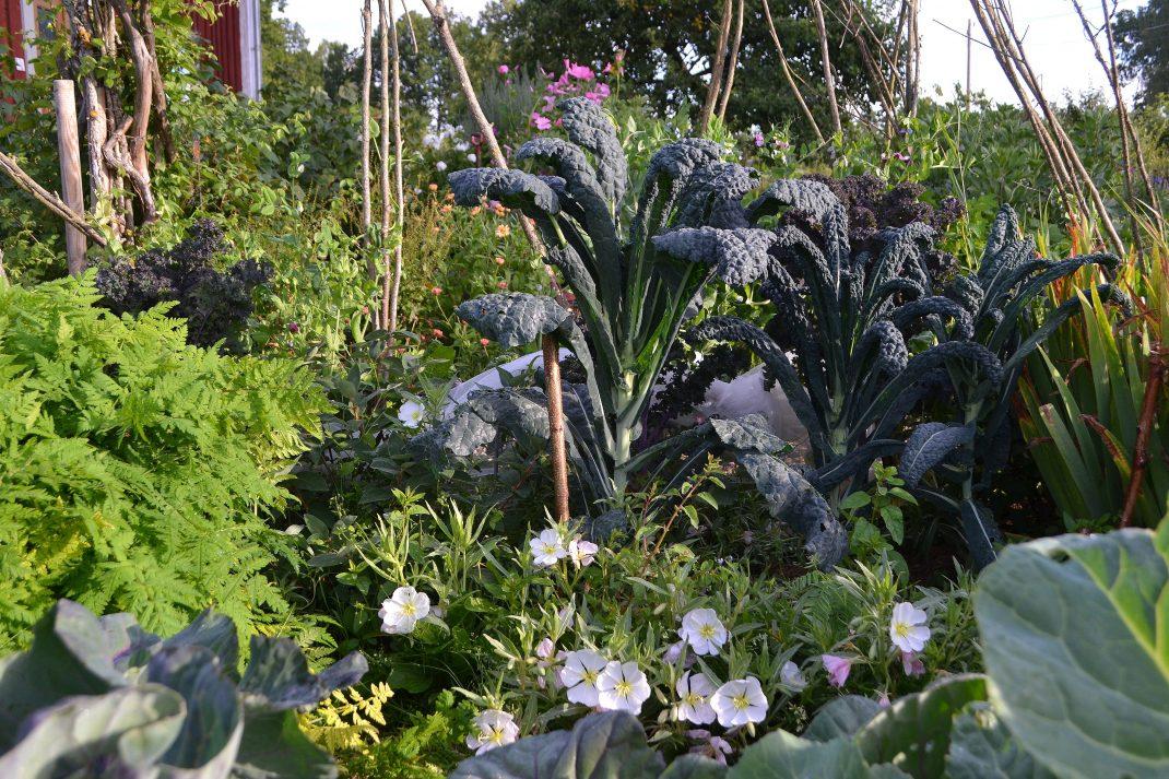 En köksträdgård med många blandade växter, bland annat en hög svartkål.