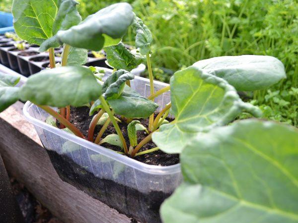 En plastbytta med jord där rabarberplantor växer i.