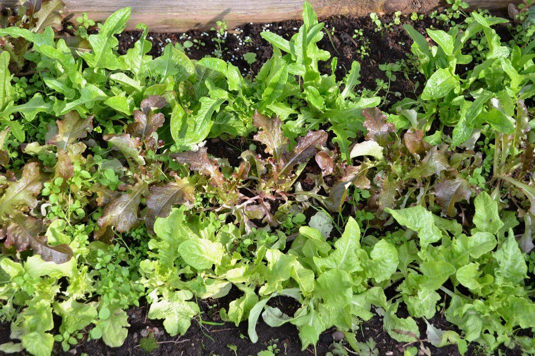 En sallatsplantering med tre rader sallat i olika färger.