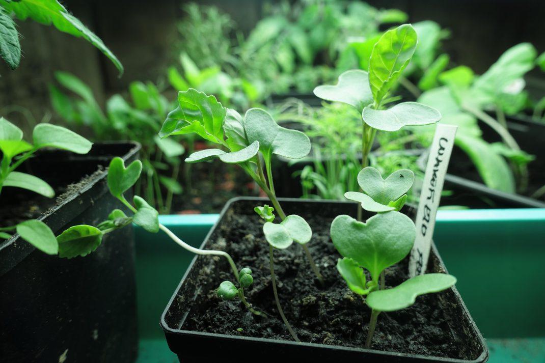 En liten kruka med späd kål under växtbelysning.