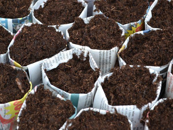 Tätt tillsammans står många krukor av tidningspapper fyllda med jord.