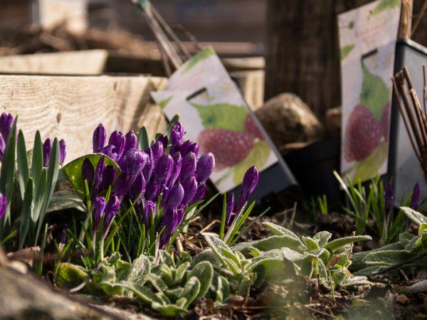 Lila krokus ger färg åt en odlingsbädd med vintersallat.