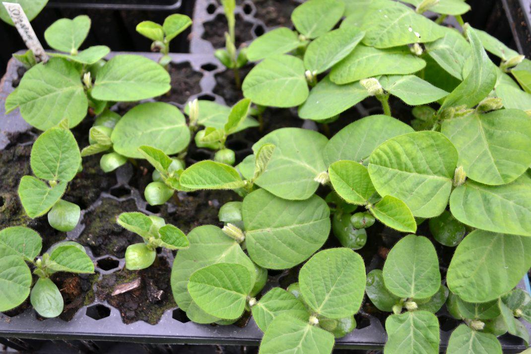Ett stort pluggbrätte är fullt av sojabönsplantor i olika tillväxtstadier. Plantorna är knubbiga och bladen ludna.