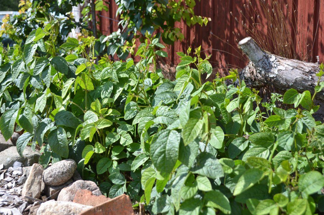 Intill en röd husvägg växer sojabönorna innanför en ram av stora stenar. Solen ligger på.