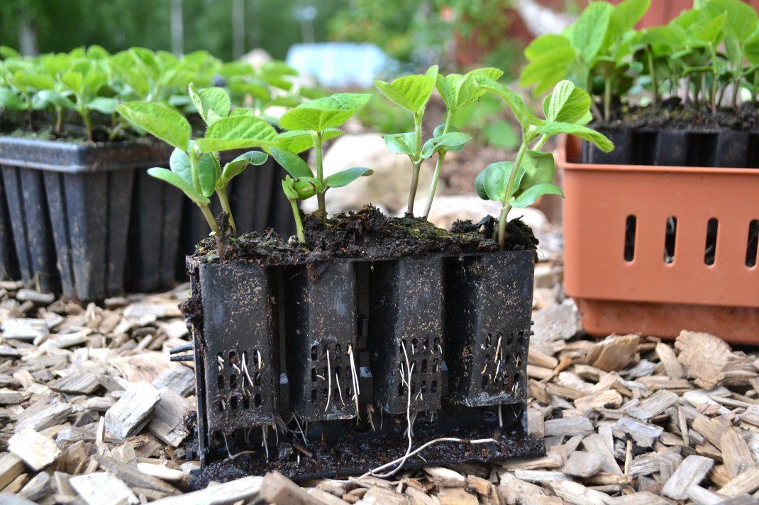 En rad med med pluggar är utplockade ur root trainern. I dem växer fina små plantor av sojabönor.