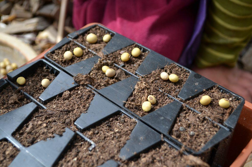 Två frön ligger i varje cell i en root trainer som är fylld av jord.
