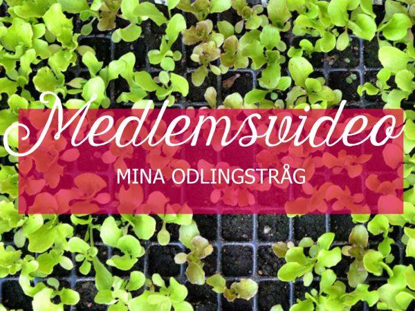 Ovanifrn bild av ett pluggbrätte med små salladsplantor. Ovanpå står texten medlemsvideo, mina odlingstråg.