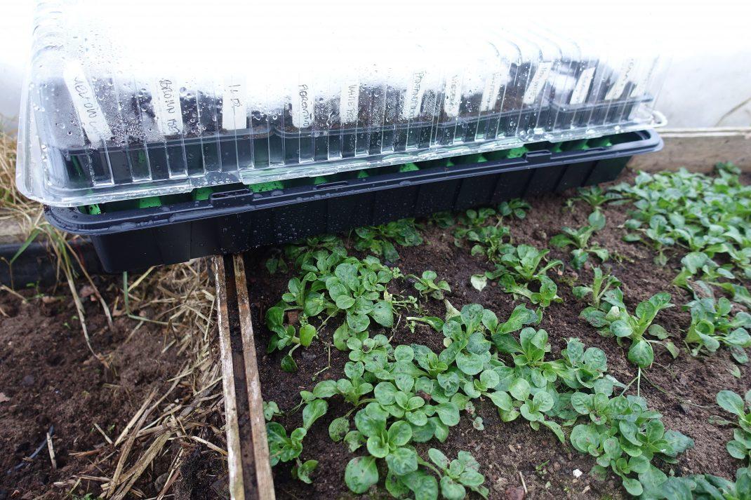 Bild på minidrivhus som står vid en bädd med bladgrönsaker i ett tunnelväxthus.