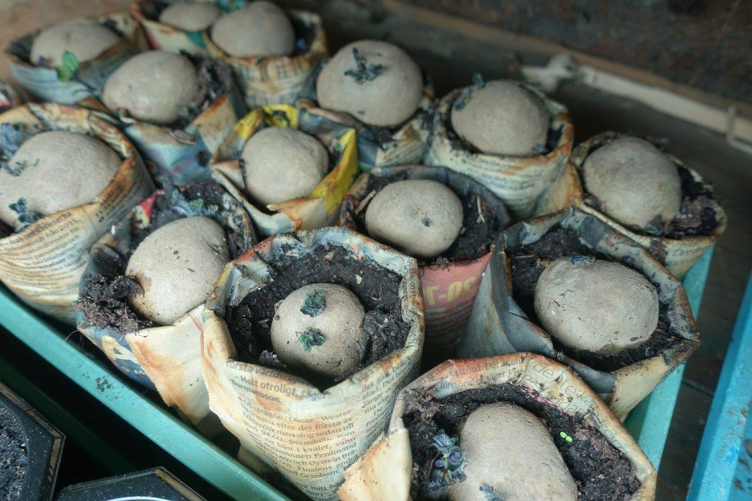Ett tråg med papperskrukor med sättpotatis i.