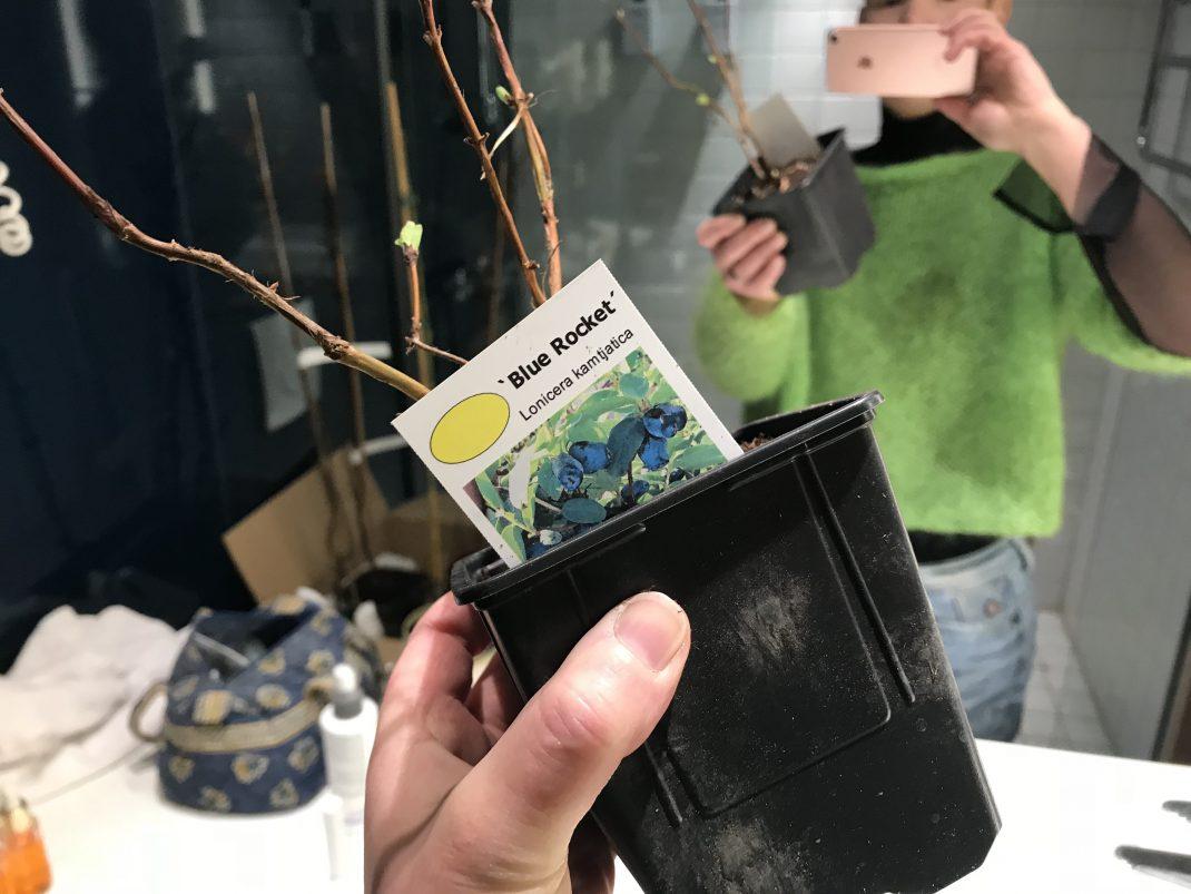 En bild på Sara som håller en planta blåbärstry i handen.