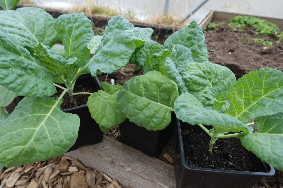 Fina gröna kålplantor i svarta krukor i tunnelväxthus. Leggy plants, little cabbage plants in black pots.