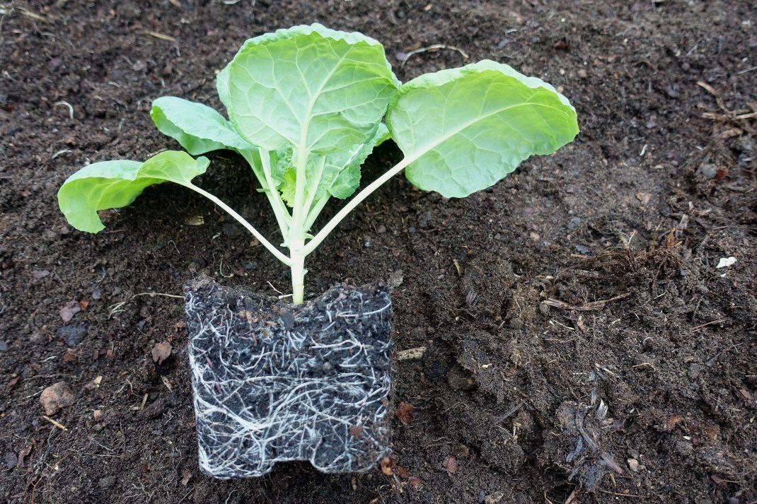 En vacker planta utan kruka, där rotsystemet tydligt syns mot jorden.