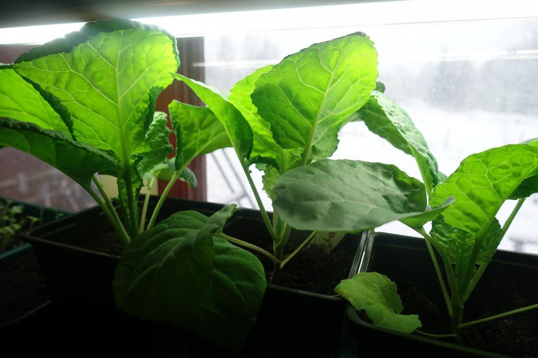 Tre kålplantor under växtbelysning i ett fönster.