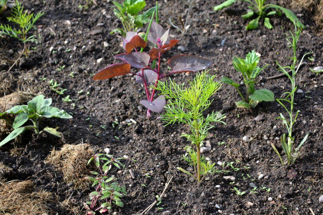 Små plantor av sommarblommor och bladgrönsaker i landet.