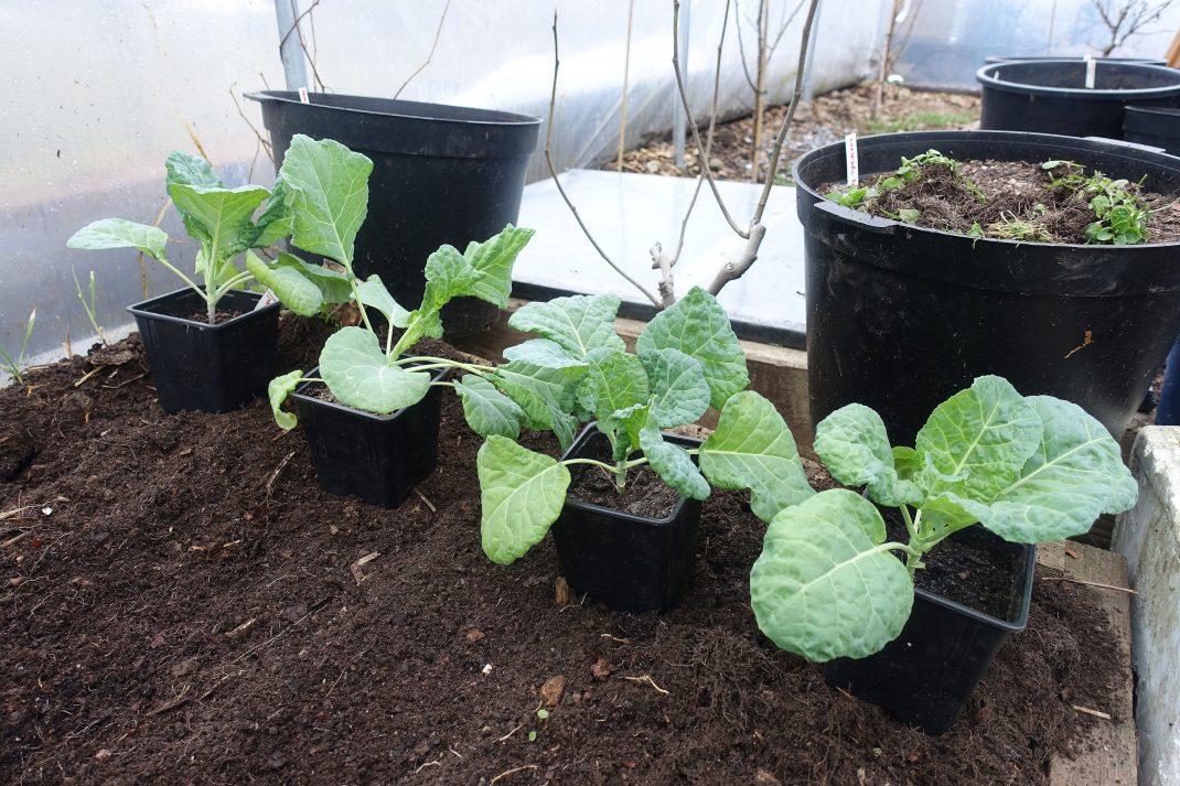 Vackra kålplantor i matt grön färg i en bädd med svart jord i tunnelväxthus.