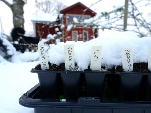 Små svarta odlingstråg med etiketter i och snö på.