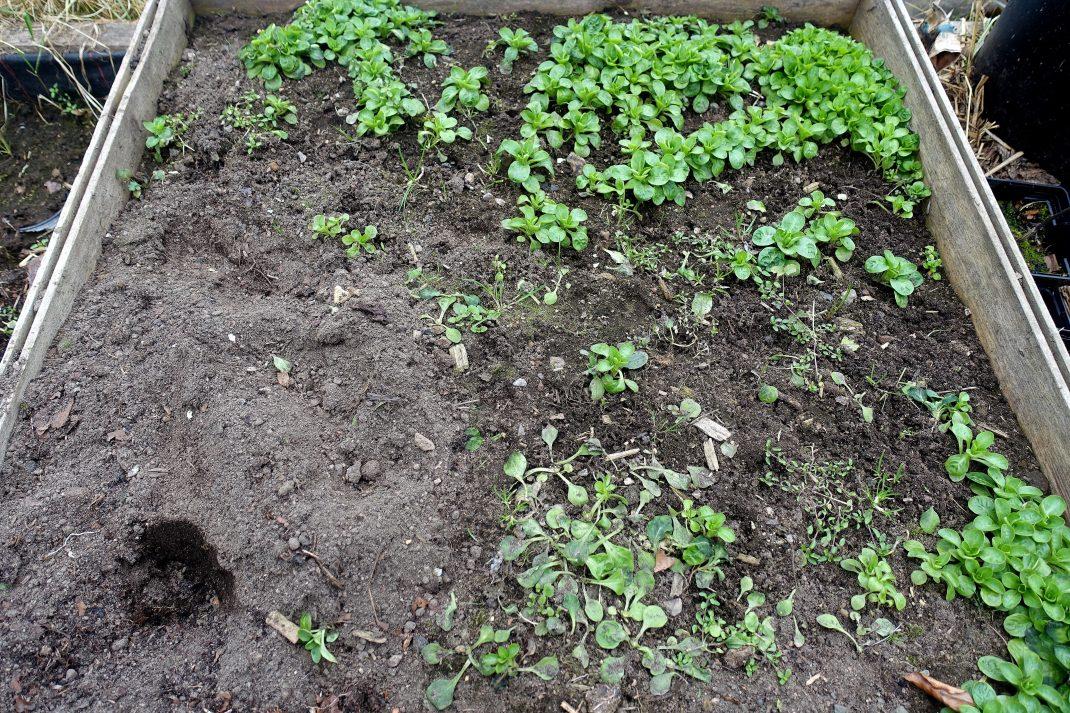 En kvadratmeter jord inom en träram, med några gröna blad som växer i.