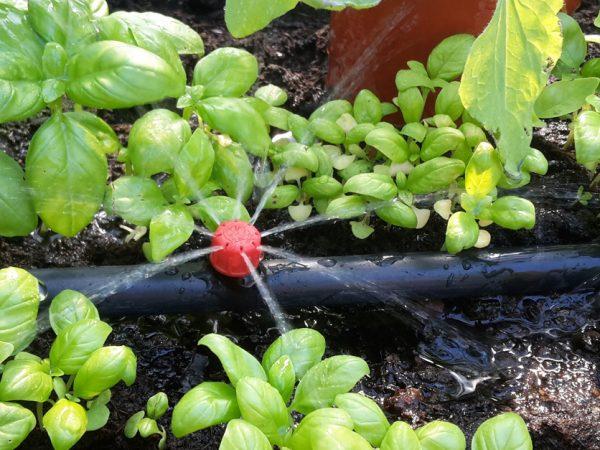 I ett fält av klargröna, späda blad av basilika ligger en svart slang med en röd knapp, där det sprutar ut vatten i fyra fina strilar.