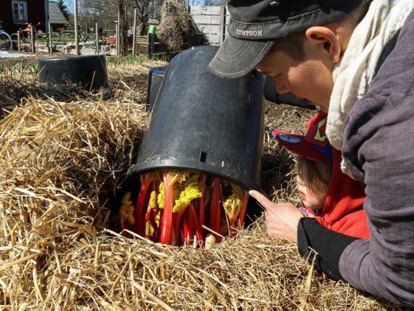 Sara lyfter på en svart, stor hink som ligger uppchner i ett halmtäckt land. Under finns röda, spröda rabarber med gulgröna blad.