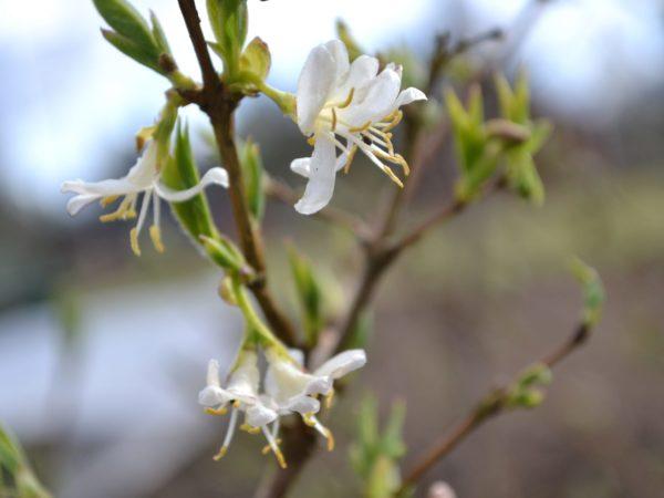 Närbild av skira, vita blommor som slagit ut på en trädgren.