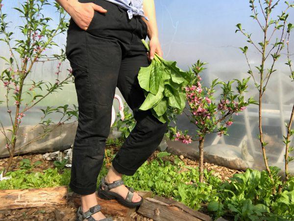Sara står med ett par svart byxor på sig i sitt tunnelväxthus. I handen har hon ett knippe bladgrönt och i bakgrunden blommar ett persikoträd.