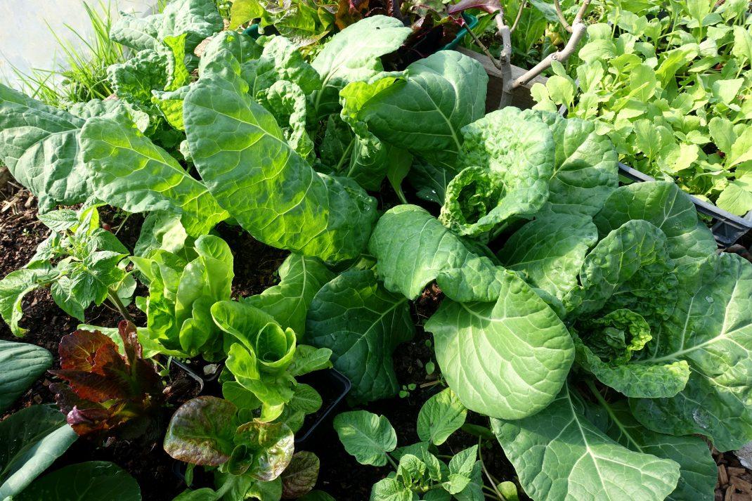 En grön bild på olika slags blad i tunnelväxthuset.