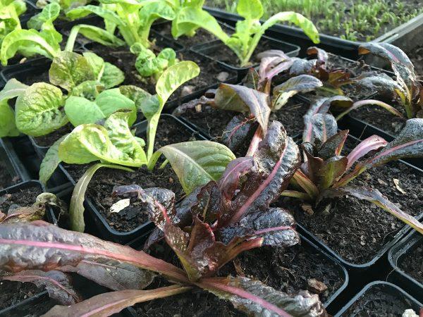 Vacker sallat i små plantor med gröna och mörkt röda blad.