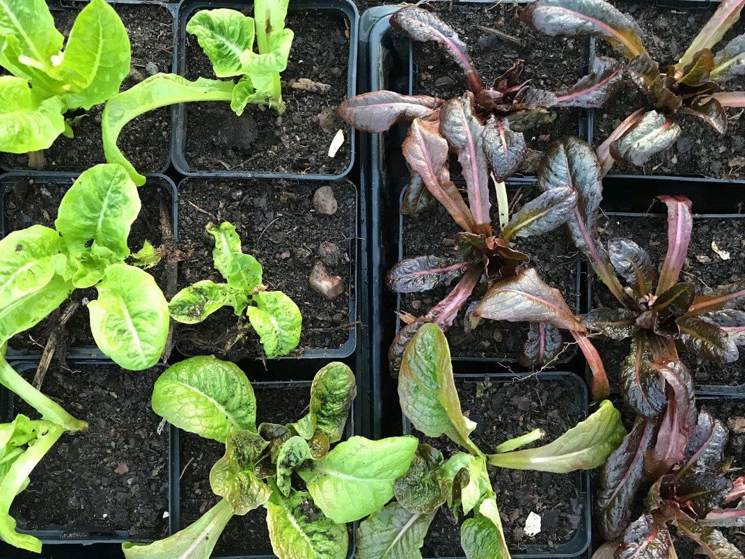 Krukor med nyss omplanterad sallat med gröna och mörkt röda blad.