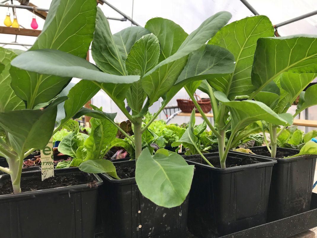 Fina höga kålplantor i krukor i tunnelväxthuset.