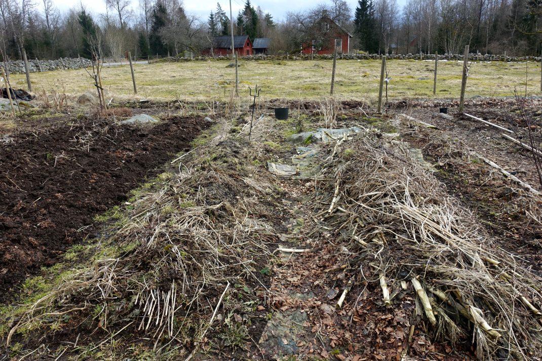 Vy över köksträdgården med upphöjda bäddar täckta av växtmaterial.