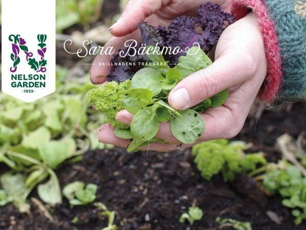 Mina händer håller nyskördade bladgrönsaker från en vinterodling