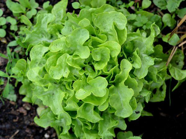 Närbild av ett vackert, ljusgrönt sallatshuvud. Det är runt med mjukt rundade blad som sitter tätt, tätt ihop.