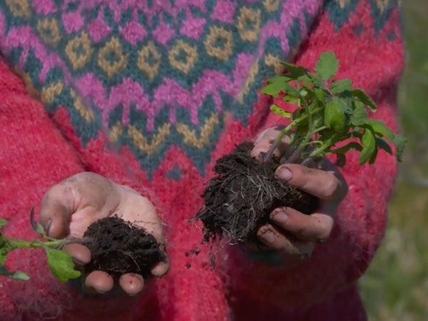 Sara delar en jordklump med flera små tomatplantor i.