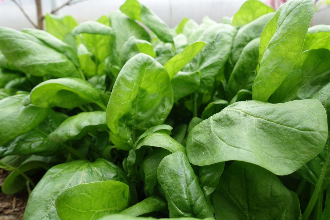 Närbild på ett gäng speantblad. Winter sow, a close-up of spinach.