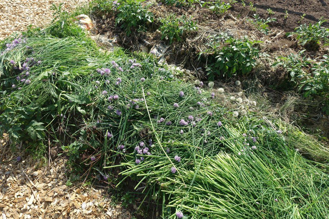 En täckodlad bädd med massor av gräslök på.