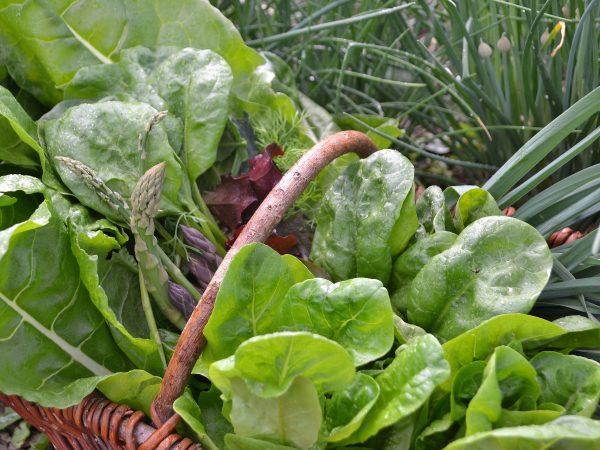 En stor korg med grönsaker, nästan bländande gröna.