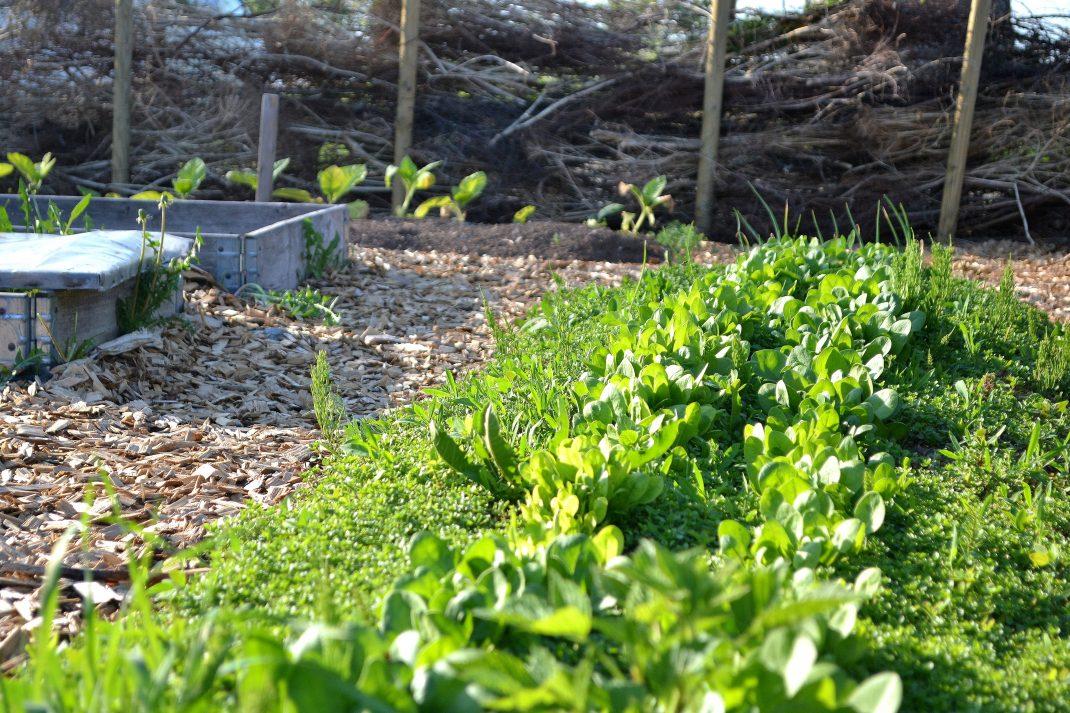 Odlingen med det nya staketet i bakgrunden.