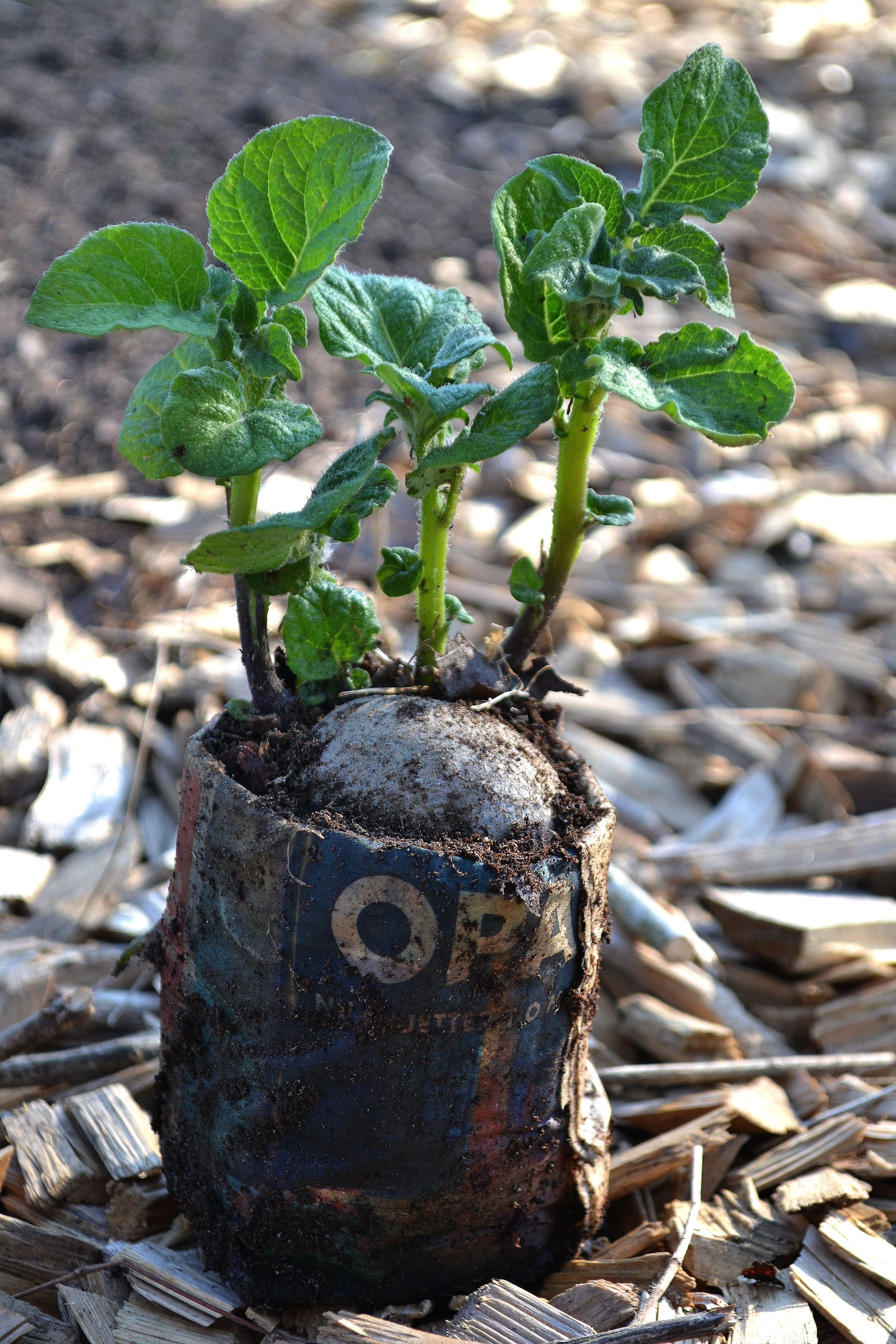 En fin potatisplanta står på träflis i en papperskruka.