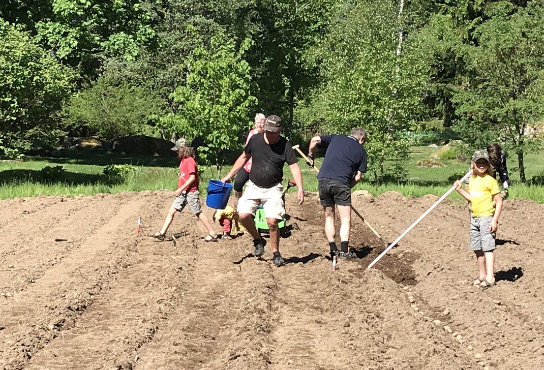 En grupp människor sätter potatis på en åker.