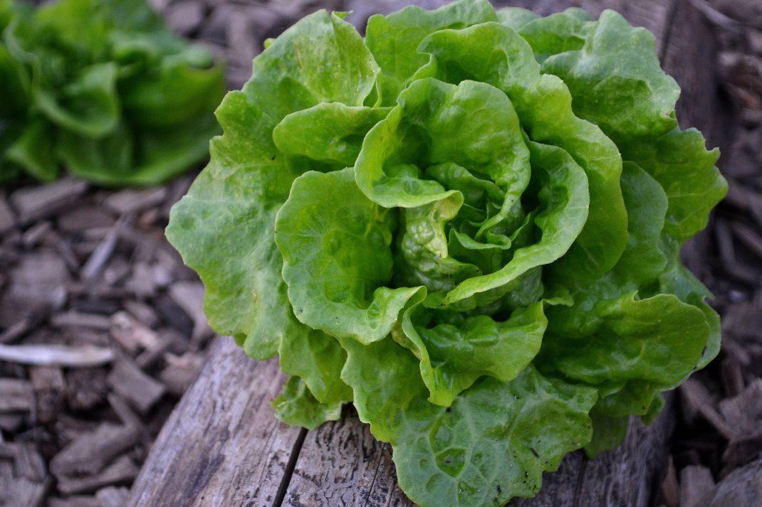 Ett litet grönt sallatshuvud är skördat och ligger på ett blekt och rundat vedträ.