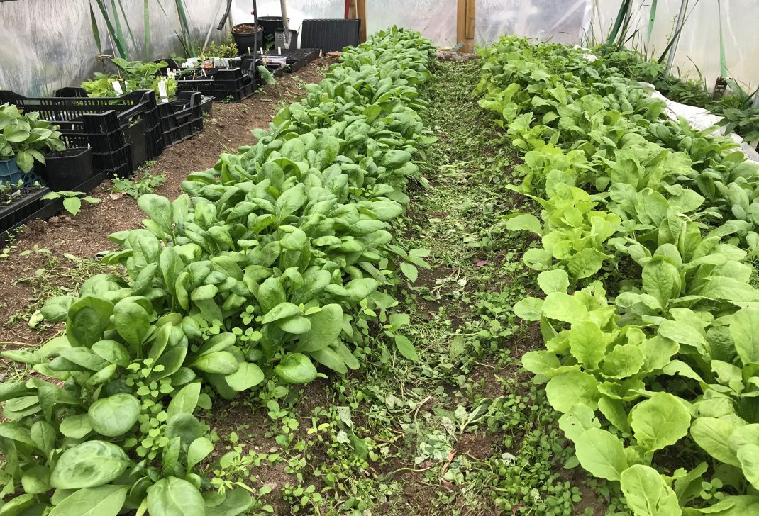 Täta mattor av röna blad i långa rader.